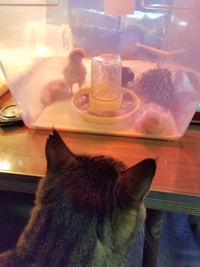 Cat watching chicks